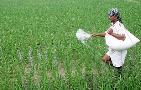 A farmer spreads fertilizers on his rice plants in Patra village in Punjab.