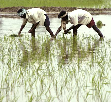 Labourers plant paddy saplings in a field on the outskirts of Amritsar.